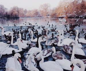 theme, purple, and Swan image