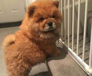 animal, brown, and chow chow image