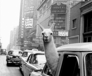 llama, car, and black and white image