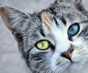 blue, eyes, and cat image