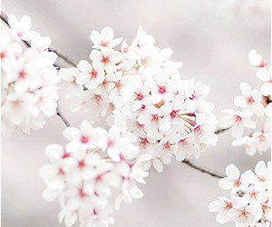 flowers, nature, and sakura image