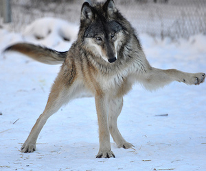 wolf and djur image