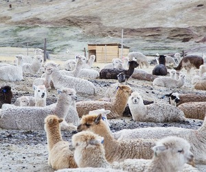 alpacas, animals, and cool image