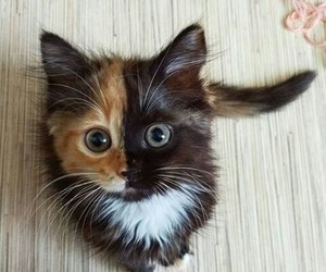 beautiful brownie cat image