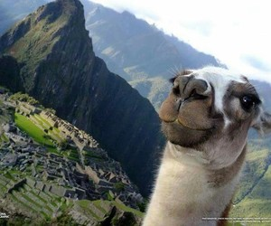 animal, funny, and llama image