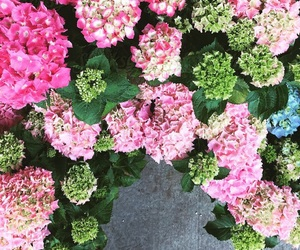 hydrangea and hydrangeas image