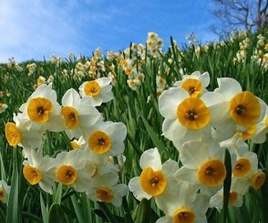 flower, narcissus, and nature image