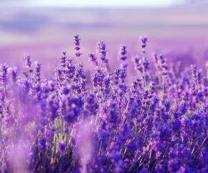 field, lavender, and purple image