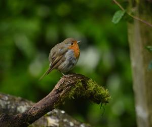 animal, bird, and robin image