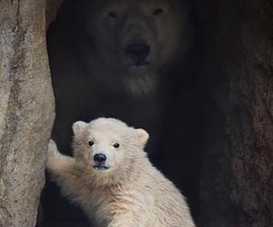 bear, animal, and Polar Bear image