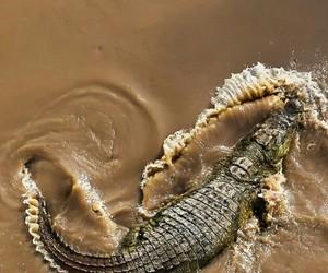 animals, crocodile, and photography image