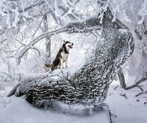 dog, husky, and winter image