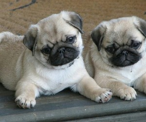 pug, loveit, and cute pugs image