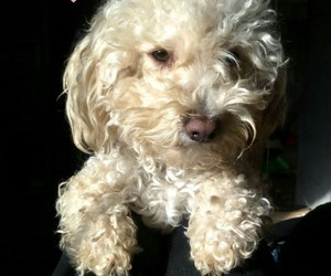frenchpoodle and chopis image