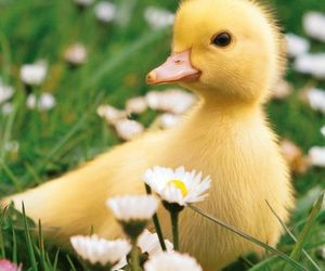 cute, animal, and duck image