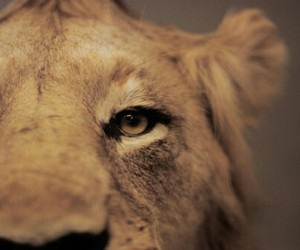 lion, animal, and photography image
