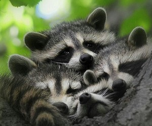 animals, raccoon, and nature image