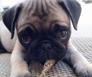 pug, dogs, and lovely image