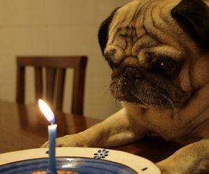 dog, birthday, and pug image