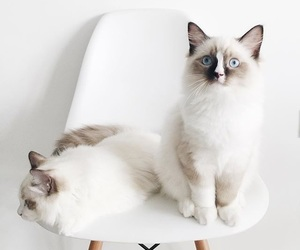 animals, white, and cats image