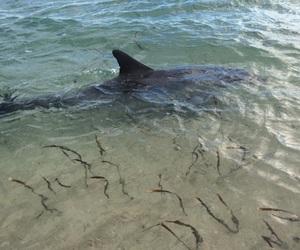 australia, beach, and dolphin image