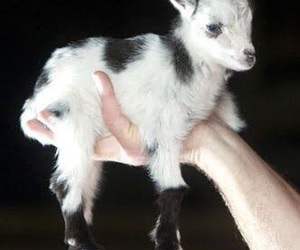 baby, goat, and animal image
