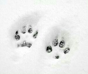 winter and wolf image