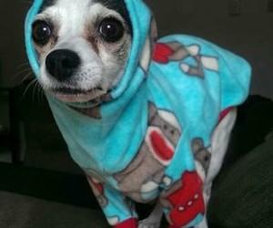 blue, chihuahua, and dog image