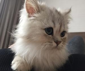 cat, bunny, and persian chinchilla image