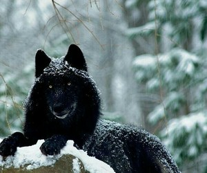 snow, wolf, and black wolf image