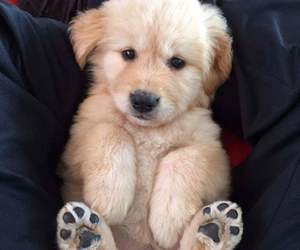 golden, puppy, and cute image