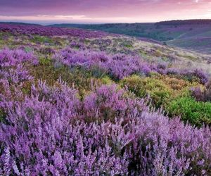 nature, heather, and landscape image