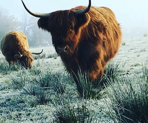 cow, highlands, and scotland image