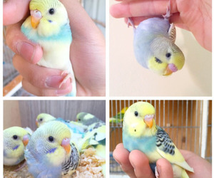 birds, budgie, and cute image