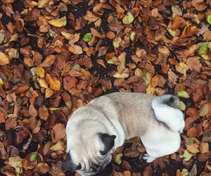 forest, Herbst, and mops image