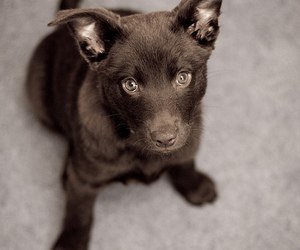 dog and australian kelpie image