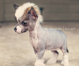 dog and chinese crested image
