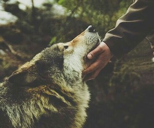 adorable, animals, and wolf image