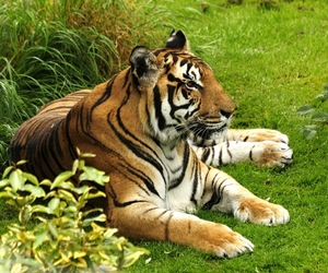 tiger, tigri, and tigre image