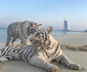 tiger, animals, and aesthetic image