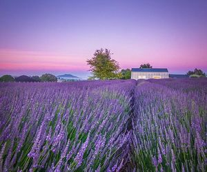 dawn, flowers, and lavender image