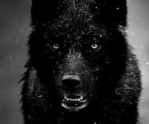 wolf, black, and animal image