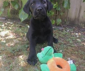 animal, black lab, and dog image
