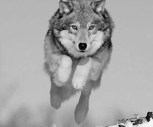 animal, wolf, and sweet image