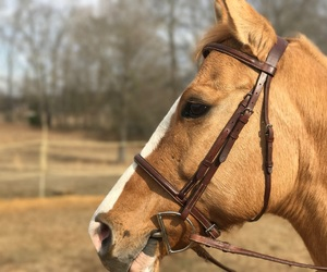 amazing, gelding, and red dun image