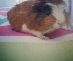 baby, guinea, and guineapig image