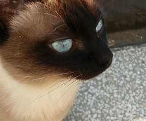 blue eyes, cat, and sweet cat image