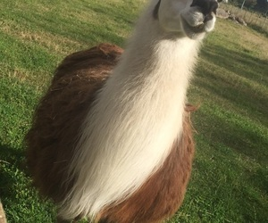 animal, llama, and majestic image