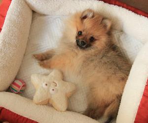 dog, puppy, and pomerian image