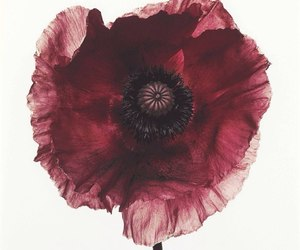 flower, poppy, and red image